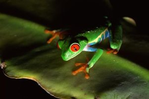 The red-eyed tree frog lives in the rain forest.