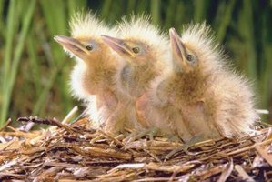 Leave baby birds to the care of their parents.