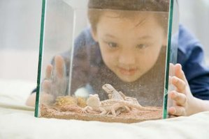 Boy looking at a pet lizard