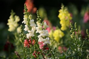 Snapdragons come in many colors.