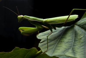 Mantis religiosa, commonly called the praying mantis, thrives during Wisconsin summers.