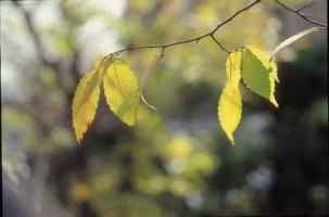 Chinese pistache leaves may turn yellow due to stress, illness or poor nutrition.