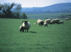 Sheep need quality pasture lands for foraging.