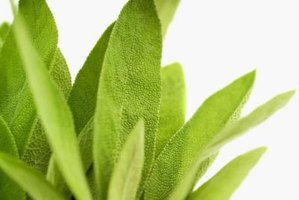 Sage leaves turn yellow for many reasons, some which may be severe.
