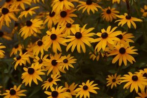 Black-eyed Susans are also known as yellow coneflowers.