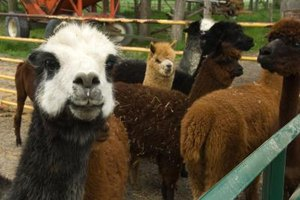 Llamas were bred for carrying goods.