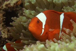Anemone clown fish are sequential hermaphrodites.