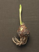 Roots grow from the base, or growth plate, of a tunicate bulb.
