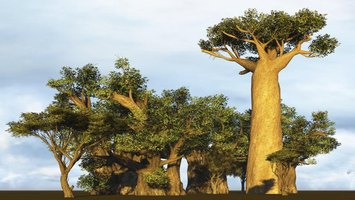 The baobab tree is regarded as the largest succulent in the world.