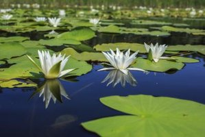 White water lilies grow in a pond.