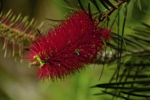 After flowering, bottlebrushes develop seed pods that stay on the plant for at least a year.