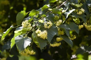 Linden flowers are used in the fragrance industry.