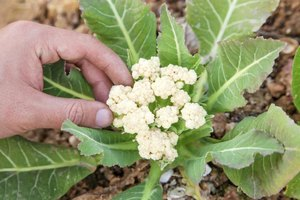 A small head of cauliflower growing in the garden.