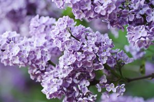 Close-up of lilac bush flowers