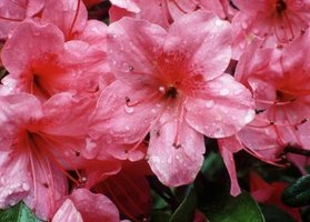 Give tea to acid-loving azaleas to encourage healthy blooms.