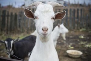 Adult male goats and unbred does require only annual combination vaccinations.