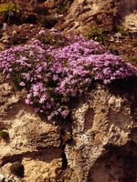 "Creeping phlox is just one plant known as ""mountain pinks."""