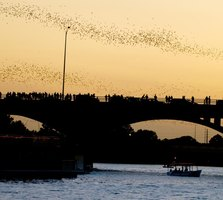 Huge flocks of bats depart from Congress Avenue Bridge every evening as the sun sets in Austin.