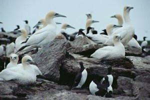 Gannets and penguins swim underwater to catch prey.