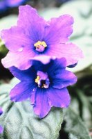 African violets are known to bloom year-round with minimum attention.