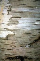 Birch bark adds a rustic appeal to a decorating project.