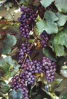 Grapes can be eaten fresh or used to make wine, vinegar or preserves.