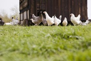 A coop will help keep your chickens safe.