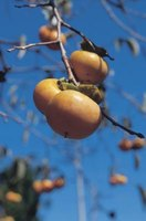 Most persimmons are either male or female.