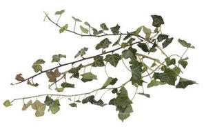 Getting rid of vines before they go to seed can prevent regrowth.
