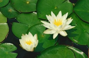 Make water lily decorations for a number of uses.