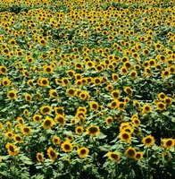 Sunflowers spread easily, even where they're not welcome.