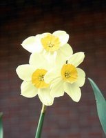 Daffodils are easy to grow and keep.