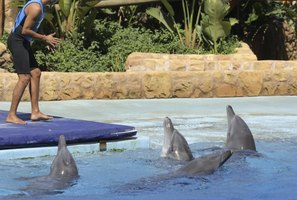 Dolphin trainer working with group of four dolphins