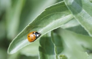 Ladybugs help protect your plants from aphids.