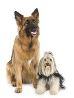 Belgian shepherds and Shih Tzus require extra grooming to prevent mats.