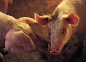 There are various items needed to properly raise a pig, like food and a pig pen.