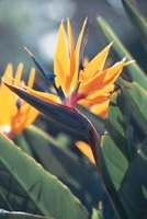 Beaked and feather-tufted flowers peek out from green foliage of bird of paradise.