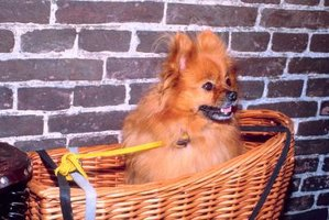 How to Breed Toy Pomeranians