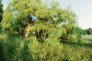 Find willow trees in wetland areas.