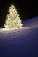 Douglas fir is one of most widely planted species of Christmas trees.