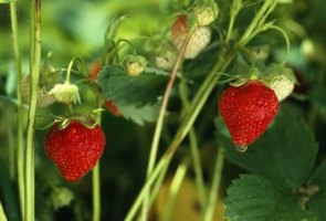 Water strawberries adequately; healthy plants are less attractive to insects.