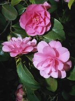 Camellias are gorgeous and nontoxic.