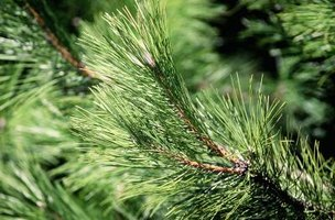 There are about 115 different species of pine.