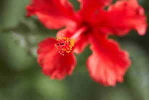 Protect your hibiscus from insects by learning the signs of an infestation.