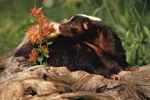 Skunks eat mice, eggs, fruits, nuts, vegetation, carrion, garbage and other animals.