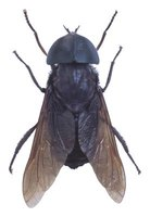A horsefly, also called a gadfly, is often confused with the deerfly.