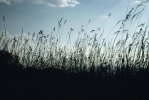 Grasses and flowering plants dominate grasslands.