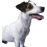 How to Stop Your Jack Russell From Barking