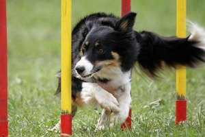 The border collie's intelligence, trainability and athleticism make him well-suited to agility.