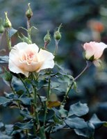 Roses do best when transplanted in spring or fall.